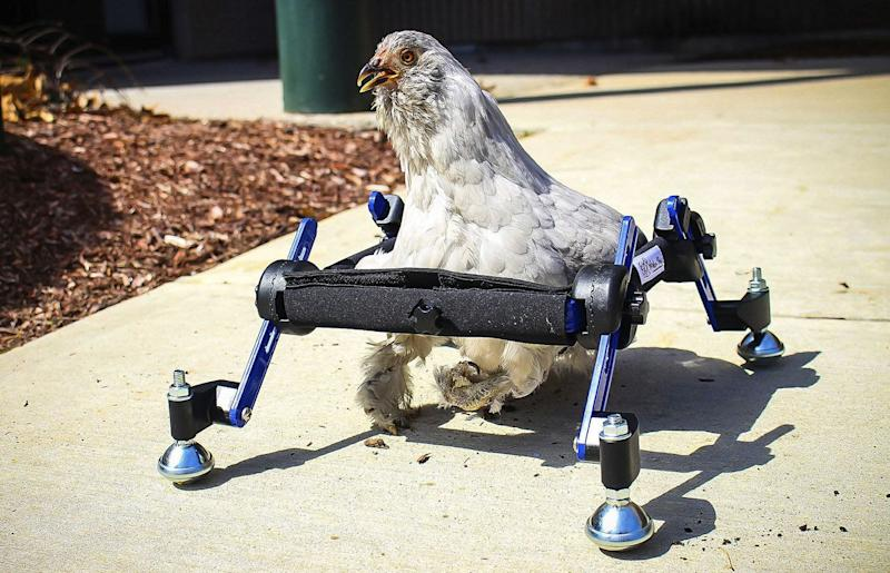 Pet chicken born with a deformed foot gets by with custom wheelchair.