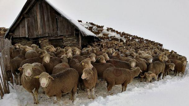 PHOTO: Sheep stranded in the Glandon mountain pass in French Savoie. (Courtesy Saint Colomban des Villards)