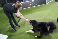 Verb, a border collie, pulls on his leash held by handler Perry DeWitt after competing in the finals of the agility competition at the Westminster Kennel Club dog show in Tarrytown, N.Y., Friday, June 11, 2021. Verb has zoomed and not the virtual way to a second-time win in the Westminster Kennel Club dog show's agility contest. Verb and handler Perry DeWitt of Wyncote, Pennsylvania, also won the title in 2019. (AP Photo/Mary Altaffer)