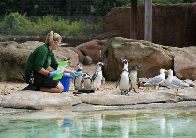 Keeper Jessica Courtney-Jones attempts to weigh Humboldt penguins during the annual weigh-in at ZSL London Zoo
