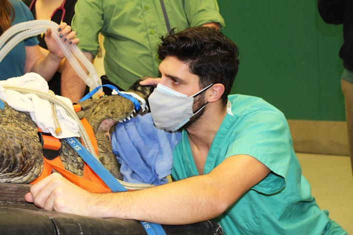 Garrett Fraess, zoo medicine resident at the University of Florida College of Veterinary Medicine, reaches into the esophagus of Anuket, a gator, to try to remove a show lodged in her stomach on Feb. 5, 2021. (University of Floria College of Veterinary Medicine)