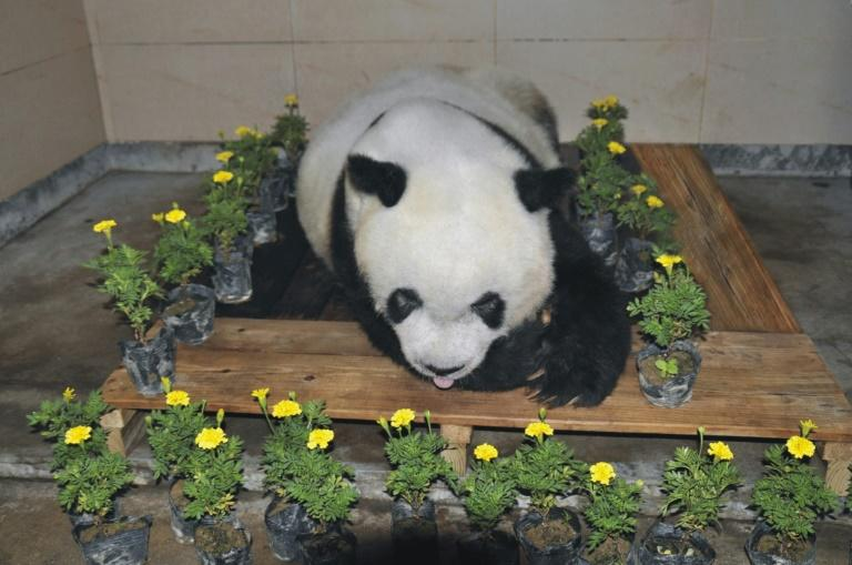 Mourners were able to view the body of Basi, the world's oldest capitve panda, after she died at a zoo in Shanghai