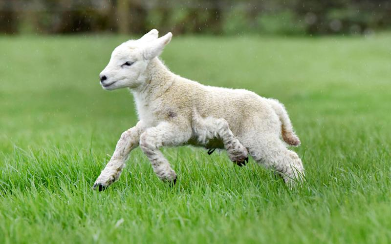 A lamb at the Bayley farm in Ashbourne born with five legs. - Caters News Agency