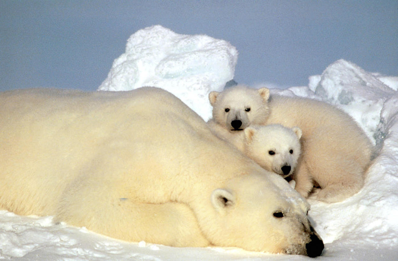 FILE - This undated file photo released by the U.S. Fish and Wildlife Service shows a sow polar bear resting with her cubs on the pack ice in the Beaufort Sea in northern Alaska. A federal judge on Monday, Oct. 17, 2011, threw out a key section of an Interior Department rule that declared global warming is threatening the survival of the polar bear. (AP Photo/U.S. Fish and Wild Life Service, Steve Amstrup, FILE)