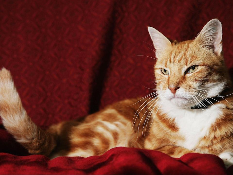Marmalade was found thanks to its microchip but if a cat is killed in the street it may be disposed of without checks (Getty Images)