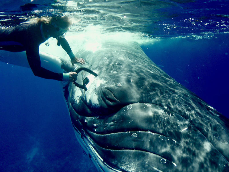 Humpback whale protects unsuspecting diver from tiger shark