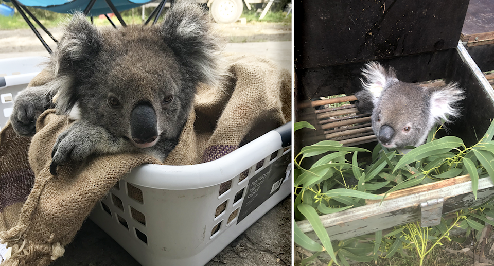More than 90 koalas have been captured and translocated in Victoria. Source: DELWP