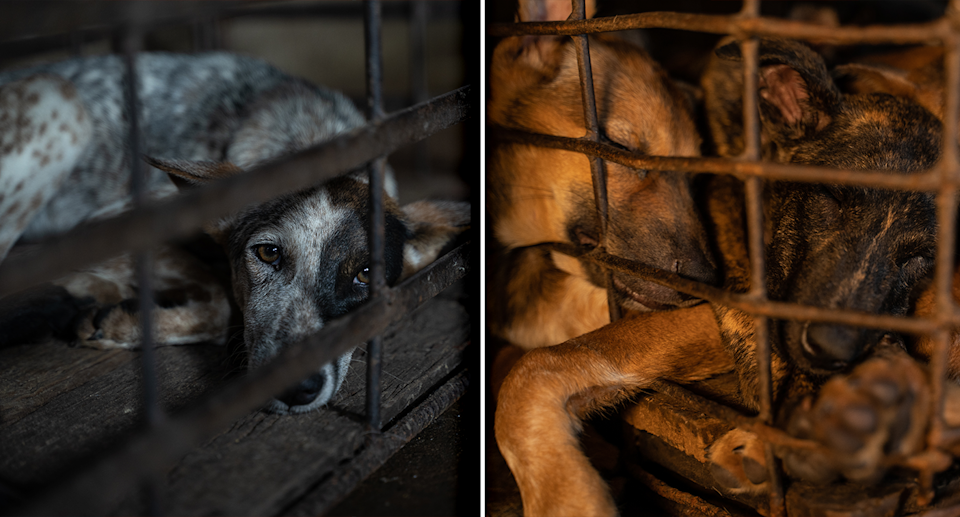 Two close up images of dogs inside rusty cages at the slaughterhouse in Cambodia.