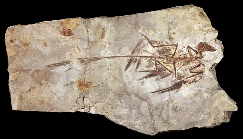 This undated handout illustration provided by the American Museum of Natural History shows the fossilized remains of Microraptor, a dinosaur from 130 million years ago. The fossil was found in rural China and it had black glossy feathers. AP Photo/Mick Ellison, American Museum of Natural History, Science /AAAS) (AP Photo/Mick Ellison, American Museum of Natural History, Science/AAAS)