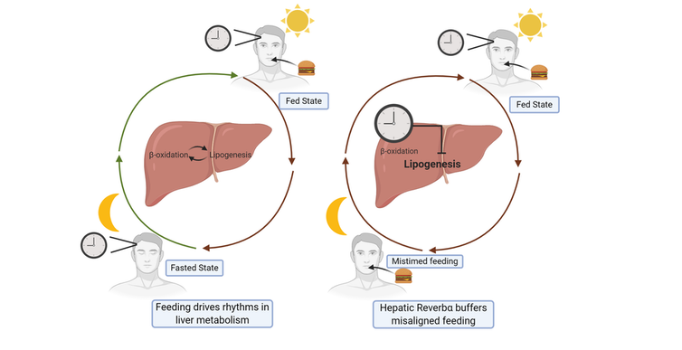 A diagram showing how the liver 'clock' gene helps manage circadian rhythm disruptions.