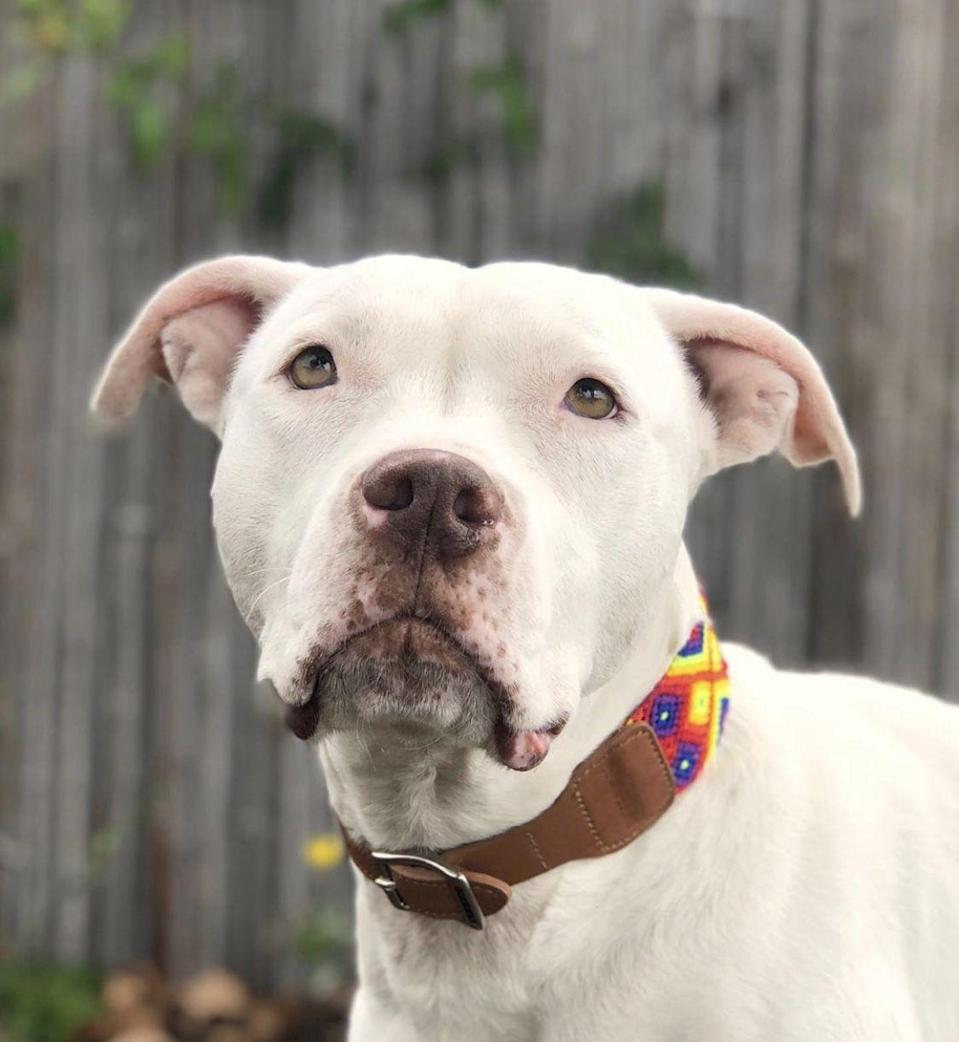 "<p>This Pit Bull mix beauty seems to have a case of the blues. Surprise them with a visit to <a href=""https://www.muttscouts.org/"" rel=""nofollow noopener"" target=""_blank"" data-ylk=""slk:Mutt Scouts"" class=""link rapid-noclick-resp"">Mutt Scouts</a> and say hi!</p>"