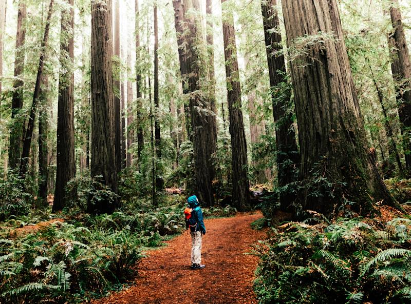 A grove ofredwood trees atHumboldt Redwoods State Park.