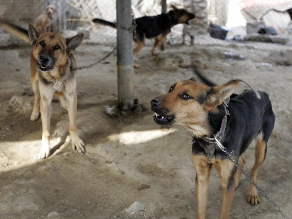 File: Dozens of contracted dogs working with the US military were left behind in Afghanistan amid the hasty pullout (AFP via Getty Images)