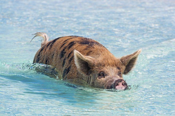 Photographer catches pictures of the 'swimming pigs of the Bahamas' taking a dip