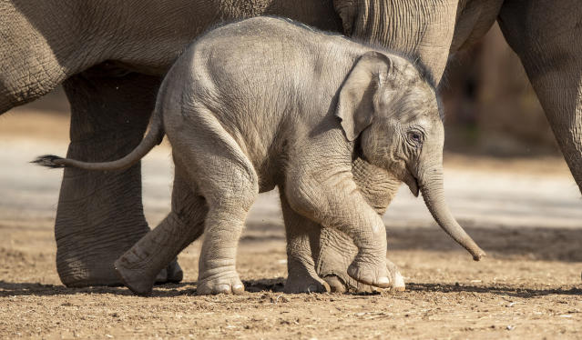 Riva Hi Way, a baby Asian elephant calf born last month at Chester Zoo. (Getty)