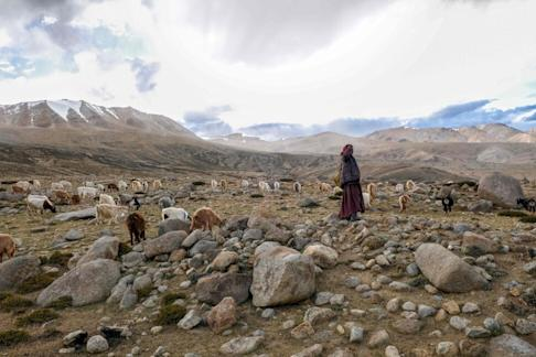 A Changpa nomad shepherd pastures pashmina goats near Korzok village, in the Leh district of Ladakh in 2019. Photo: AFP