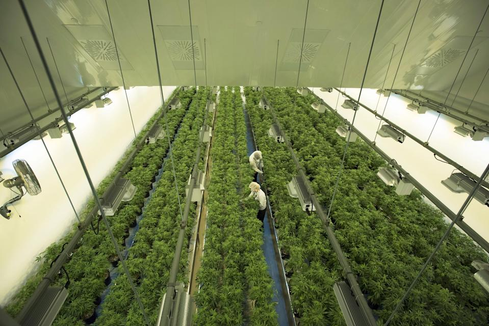 Staff work in a marijuana grow room that can be viewed by at the new visitors centre at Canopy Growths Tweed facility in Smiths Falls, Ont. on Thursday, Aug. 23, 2018. THE CANADIAN PRESS/Sean Kilpatrick