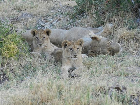 Live is tough for lion cubs, but especially males: Only about 1 in 8 male lions survive to adulthood.