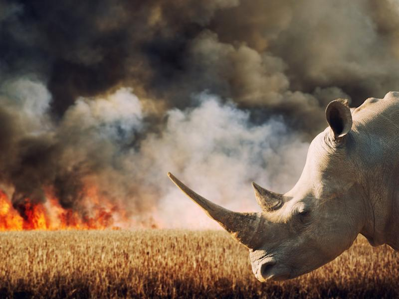 Rhinoceros in front of burning savannah in South Africa. Hundreds of species are under increasing threat due to factors including human population growth, habitat destruction, and the illegal wildlife trade: Getty