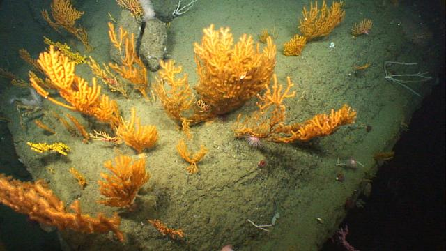 <p><span>Deepwater corals on the western wall of Oceanographer Canyon. (Photo: NOAA Okeanos Explorer Program, 2013 Northeast U.S. Canyons Expedition Science Team)</span> </p>