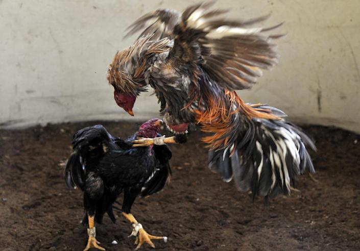 Cockfighting is still legal in Venezuela (AFP Photo/Aizar Raldes)