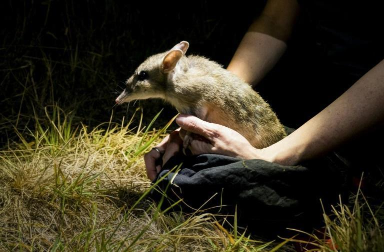 The announcement is a rare conservation win in Australia, which environmentalists say has the world's worst mammal extinction rate (AFP/Handout)