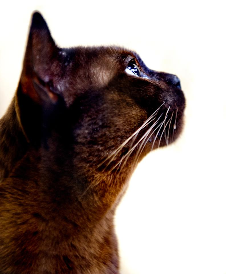 <p>Rossikhan Sweetbaby James, a Brown Burmese Cat participates in the GCCF Supreme Cat Show at National Exhibition Centre on October 28, 2017 in Birmingham, England. (Photo: Shirlaine Forrest/WireImage) </p>