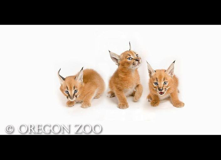This photo released from the Oregon Zoo shows five-week-old Caracal kittens.