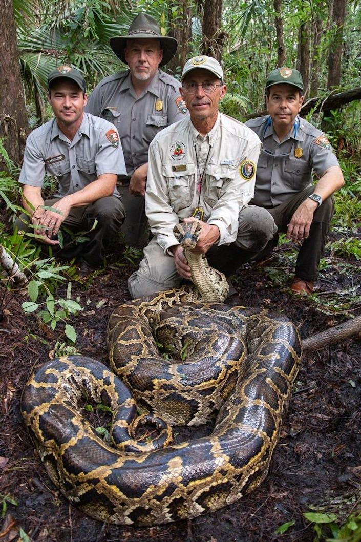 A Burmese python measuring 17 feet, 3 inches and weighing 152 pounds was the largest female captured by the Big Cypress National Preserve Scout Snake Program during the 2019-2020 breeding season. Matthew McCollister, Big Cypress Biologist, Thomas Forsyth, Big Cypress Superintendent, Michael Reupert, Big Cypress volunteer, and Pedro Ramos, Everglades National Park Superintendent are all part of efforts to rid South Florida of one of its most problematic invasive species.