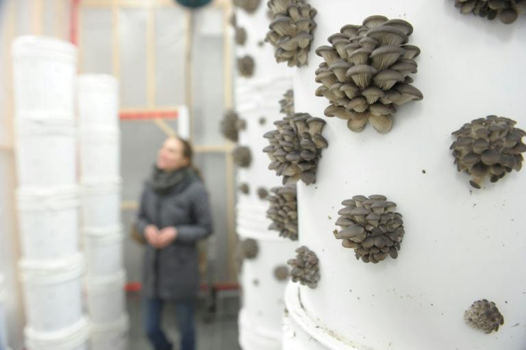 Three times a week sartup Blanc de Gris harvests about 200 kilograms of mushrooms, which are delivered to area restaurants the same day