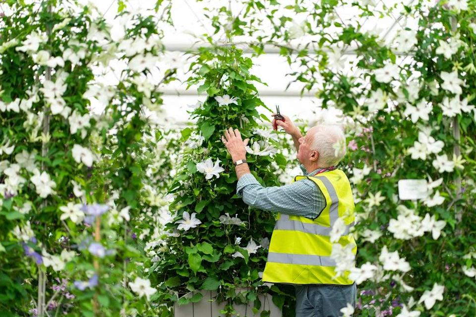 A gardener makes adjustments to a display of clematis in the Grand Pavilion ahead of the opening of the Chelsea Flower Show (Dominic Lipinski/PA) (PA Wire)