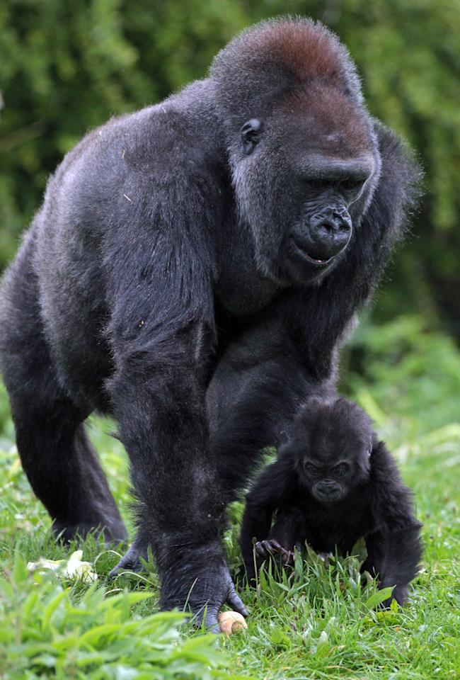 Bristol Zoo's baby gorilla Kukena takes some of his first steps as he ventures out of his enclosure with his mother Salome at Bristol Zoo?s Gorilla Island on May 4, 2012 in Bristol, England. The seven-month-old western lowland gorilla is starting to find his feet as he learns to walk having been born at the zoo in September. Kukena joins a family of gorillas at the zoo that are part of an international conservation breeding programme for the western lowland gorilla, which is a critically endangered species.  (Photo by Matt Cardy/Getty Images)