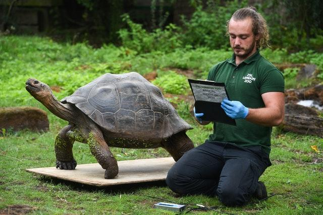 Keeper Joe Capon weighs Polly the Galapagos giant tortoise during the annual weigh-in at ZSL London Zoo, London