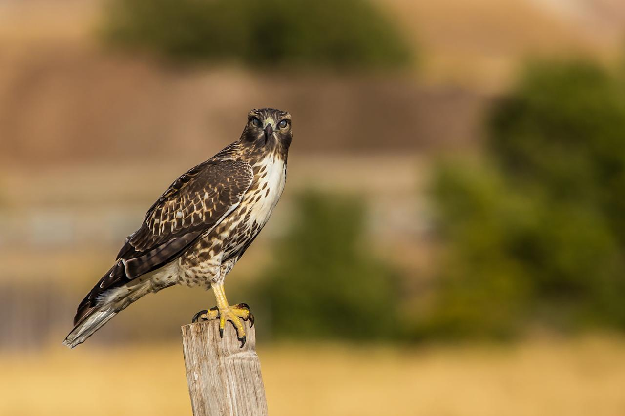<p>This hawk <i>(Buteo platypterus) </i>is a small, compact species with a short, strikingly banded tail, broad wings that come to a point, and brown-and-white barring across its chest. It has bright yellow legs and talons and a small, hooked bill.</p>