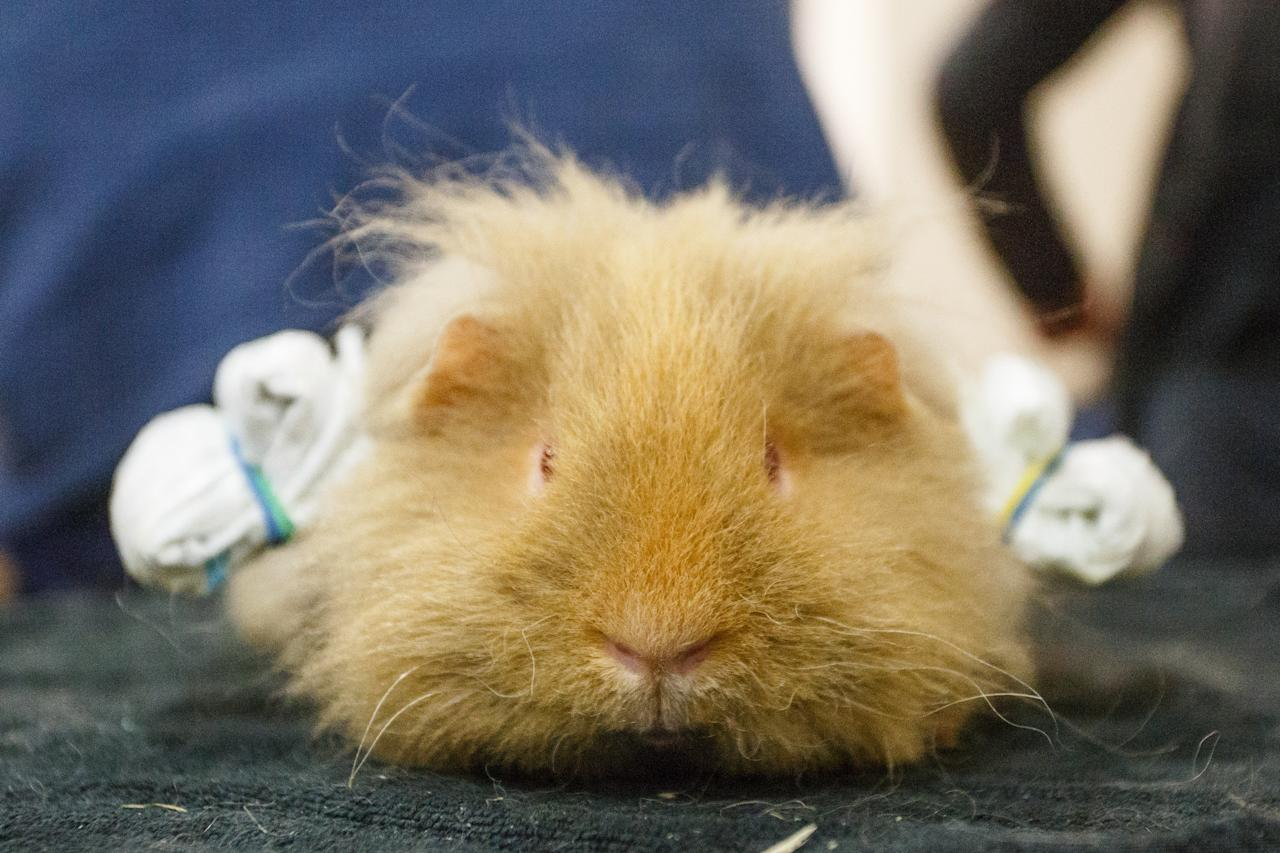 <p>Established in 1921, the 'Bradford' Premier Small Animal Show is the longest-running and biggest small animal show in the UK [Picture: SWNS] </p>