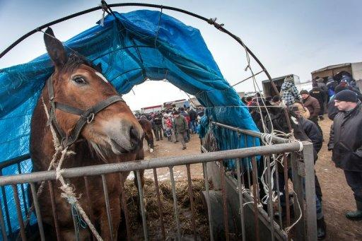 """A horse is displayed at the annual horse market in Skaryszew, Poland, on February 18, 2013. Europe's horsemeat scandal spread Wednesday to Asia where an imported lasagne brand was pulled from the shelves in Hong Kong, as Czech officials ordered similar action on frozen meals mislabelled """"beef"""""""