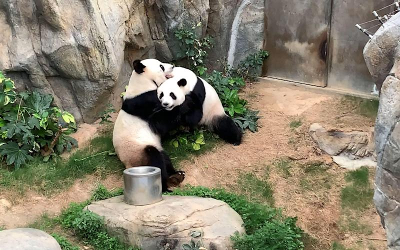 This handout photo provided by Ocean Park Hong Kong on April 7, 2020 shows giant pandas Ying Ying and Le Le before mating at Ocean Park in Hong Kong - AFP
