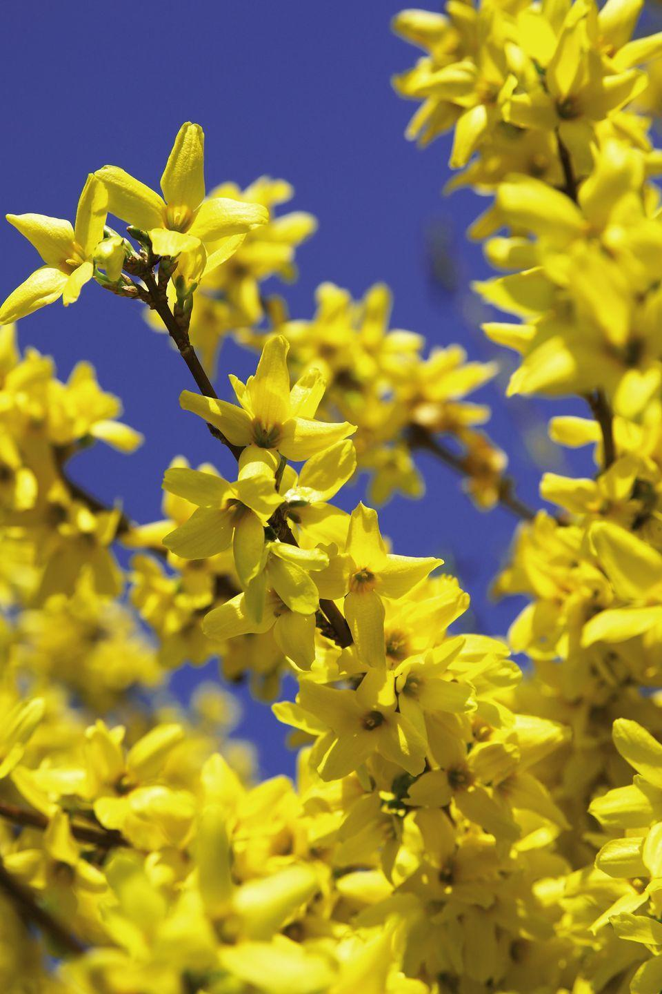 "<p>The bright yellow blooms of forsythia appear in early spring before the shrub leafs out. New hybrids such as Show Off! Sugar Baby stay petite and pretty in small spaces, reaching about 30 inches tall at maturity. Give forsythia full sun. </p><p> <a class=""link rapid-noclick-resp"" href=""https://www.greatgardenplants.com/collections/all/products/show-off-sugar-baby-forsythia?variant=37358180237479"" rel=""nofollow noopener"" target=""_blank"" data-ylk=""slk:SHOP NOW"">SHOP NOW</a></p>"