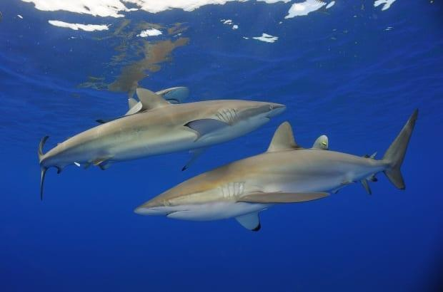 Silky sharks are named for their smooth skin. International trade is a major threat to the species, as it is 'one of the three most traded shark species in the global shark fin trade,' according to the Convention on International Trade in Endangered Species of Wild Fauna and Flora. (Shutterstock / Shpatak - image credit)