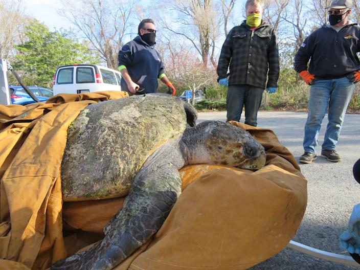 A cold-stunned 350-pound loggerhead turtle that washed ashore was moved from Great Hollow Beach in Truro, Mass., on Nov. 20 by Department of Public Works staffers, from left, Mike Locke, Peter Morris and Jeff Holway.