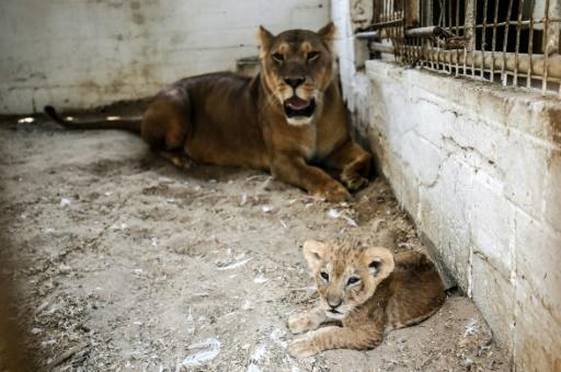 Two lions and three cubs are penned in cages only a few square metres in size at a zoo in the Gaza Strip