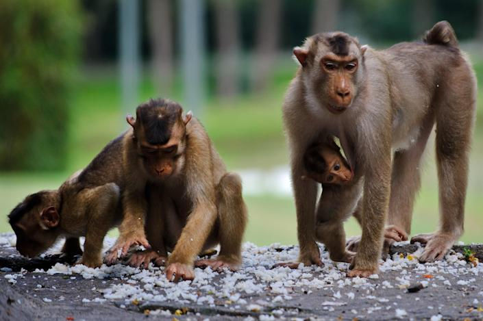 The prototype eCD4-Ig drug was tested on macaque monkeys, like these pictured in Malaysia (AFP Photo/Mohd Rasfan)