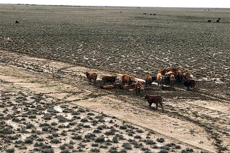 Around half of Australia's 25-million strong cattle herd are bred in Queensland, with an estimated one in 40 animals killed in the flood disaster (AFP Photo/Handout)
