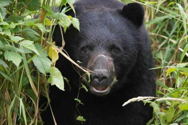 Black bears are coming out of hibernation and people are being told to back away slowly while from a surprise encounter, while shouting at the animal to leave.  (Submitted by Vince Mai - image credit)