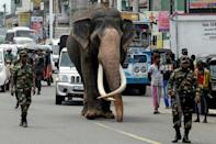 An Indian-born tusker (or bull elephant with large tusks) being escorted by security personnel as he walks on the outskirts of Colombo, Sri Lanka in September 2019. Elephants in Sri Lanka are listed as endangered