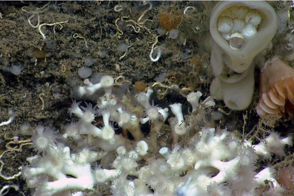 Squee! Octopus Hatchling Spotted by Deep-Sea Explorer