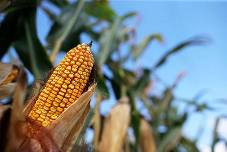 FILE PHOTO --  Corn is seen in a field in Indiana, U.S. September 6, 2016.     REUTERS/Jim Young/File Photo
