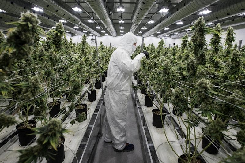 Uruguay legally produced 1,200-kilograms of marijuana between July 2017 and July 2018, 100 percent of which was sold to registered users. (AFP Photo/Lars Hagberg)