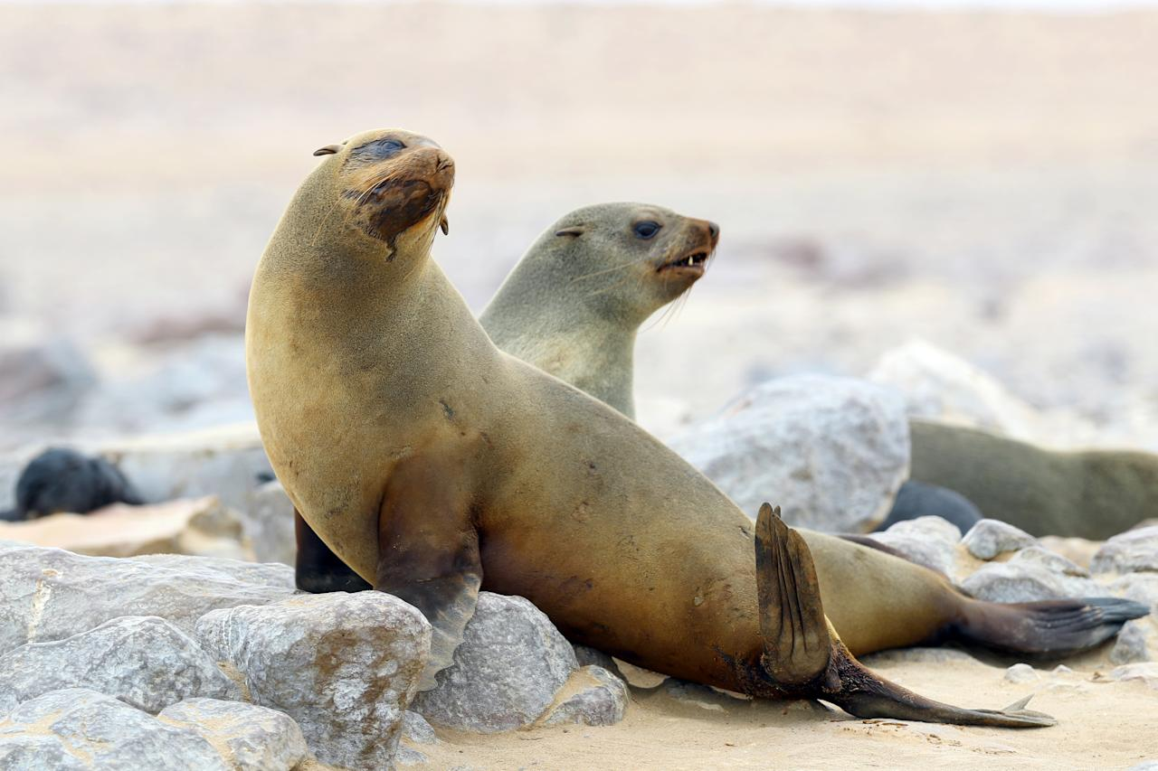 <p>Two Cape fur seals pose for a photo on the rocks at the Cape Cross Seal Reserve in Namibia. (Photo: Gordon Donovan/Yahoo News) </p>