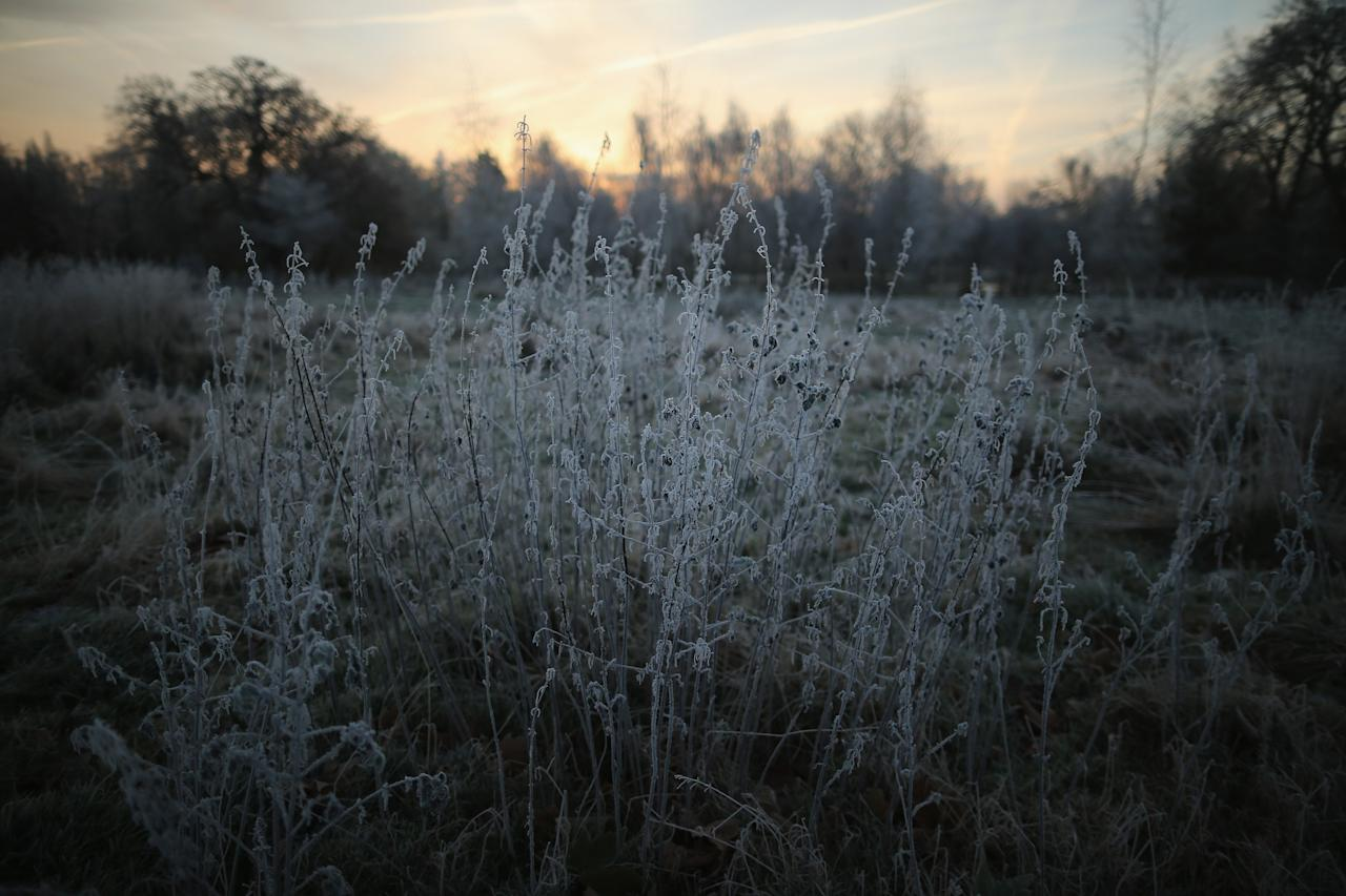 LONDON, ENGLAND - DECEMBER 12:  The early morning frost clings to plants in Regents Park on December 12, 2012 in London, England. Forecasters have warned that the UK could experience the coldest day of the year so far today, with temperatures dropping as low as -14C, bringing widespread ice, harsh frosts and freezing fog. Travel disruption is expected with warnings for heavy snow in some parts of the country.  (Photo by Dan Kitwood/Getty Images)